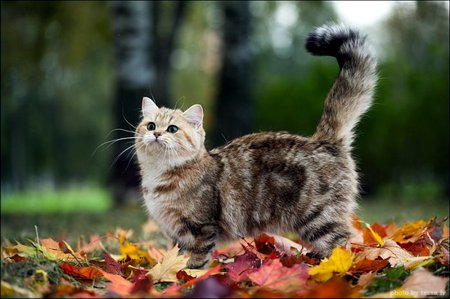 Британский короткошерстный котє