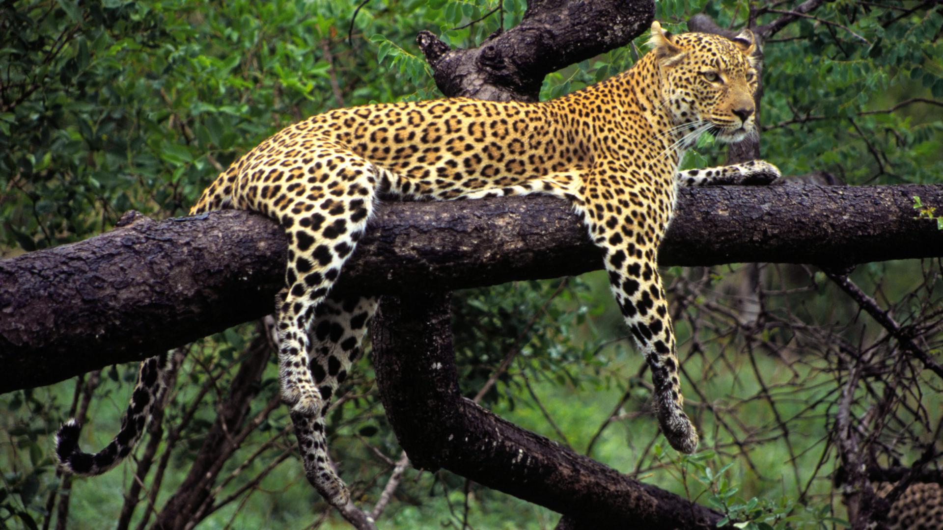 природа животные Гепарды камни трава дерево горизонт  № 276760 бесплатно