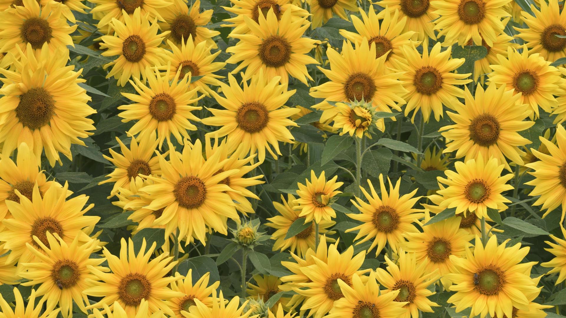 природа цветы подсолнечник  № 2671808 загрузить