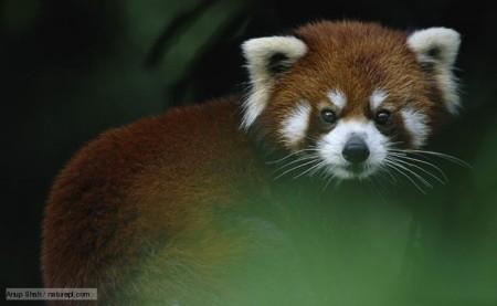 этот зверь изображён на логотипе Mozilla Firefox