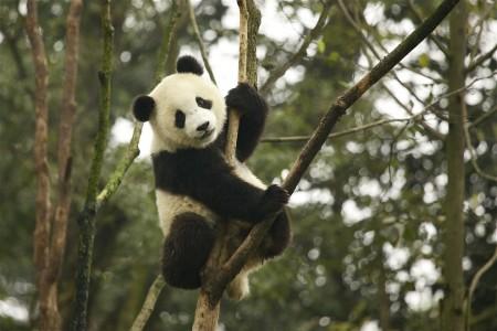 Привет, панда!