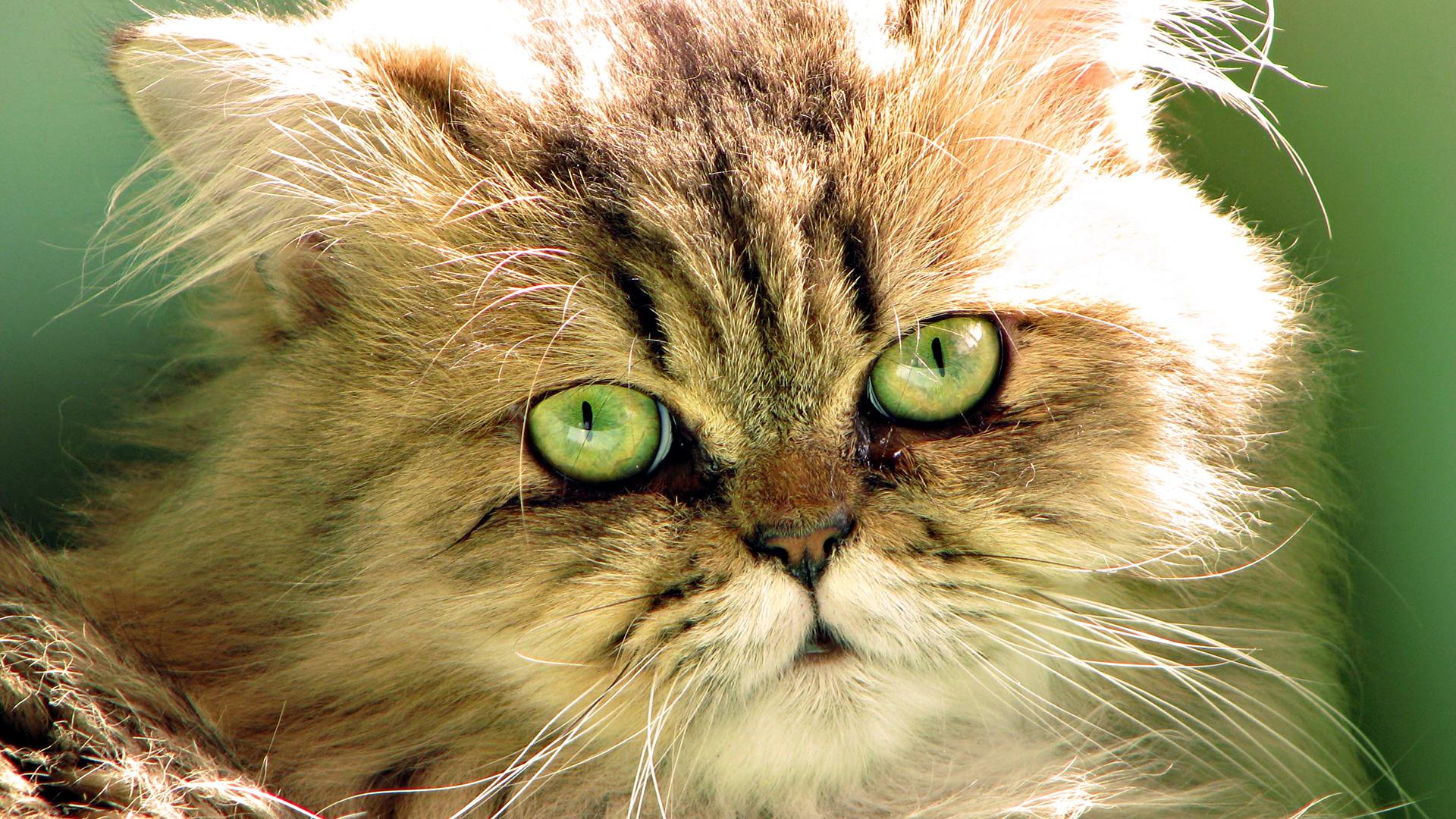 кошка глаза шерсть  № 1963612 бесплатно