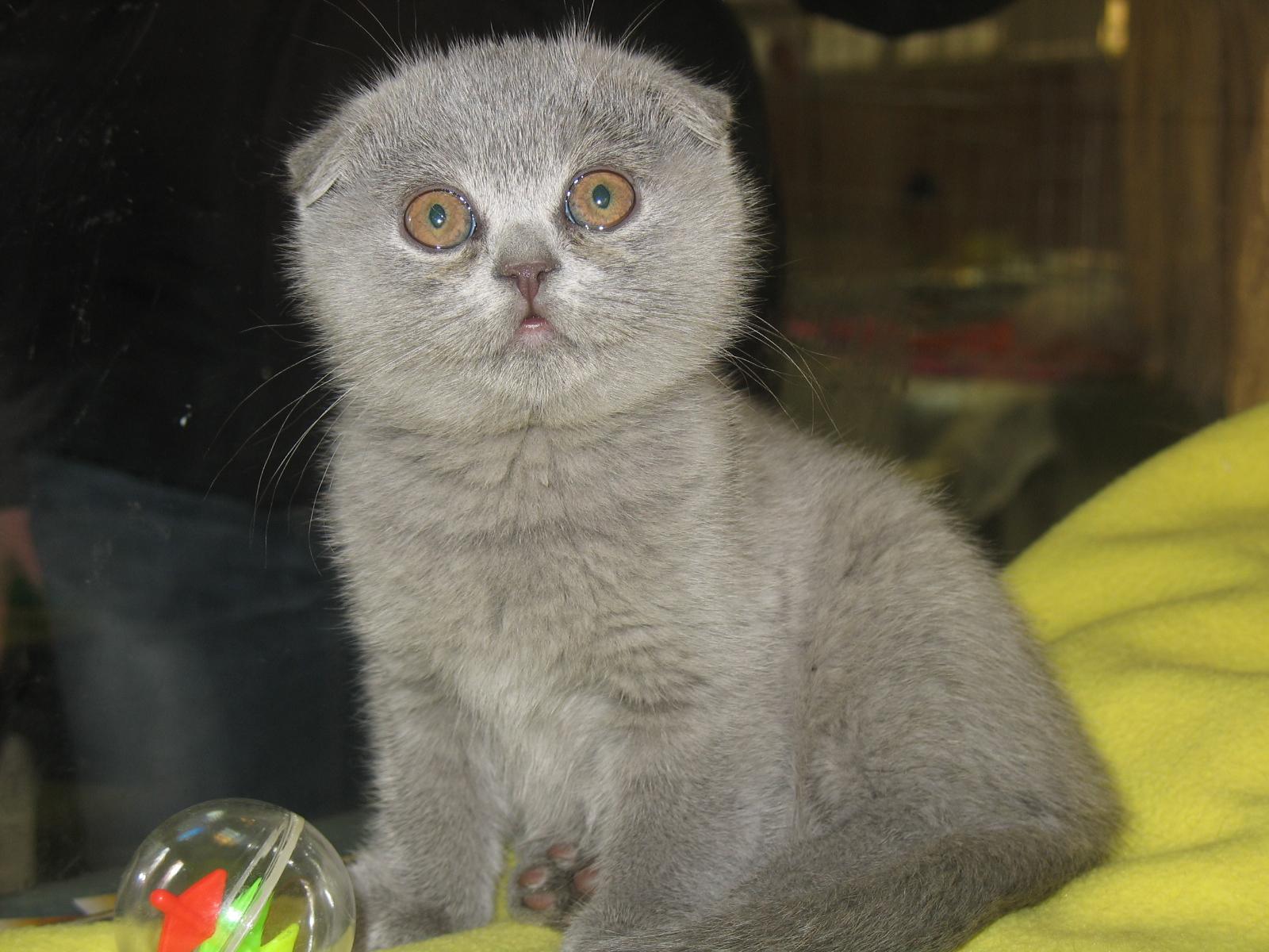 Шотландские вислоухие кошки xenomorph