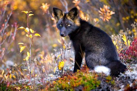Любопытная чёрно-бурая лисица