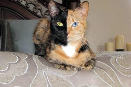 Венера – кошка-химера