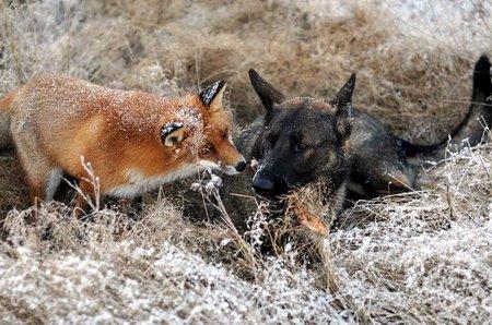 Пёс и Лис