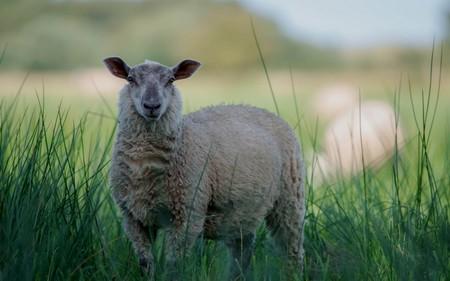 Овца-собака (видео)