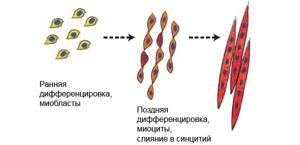 Полностью функциональные мышцы выращены в лаборатории