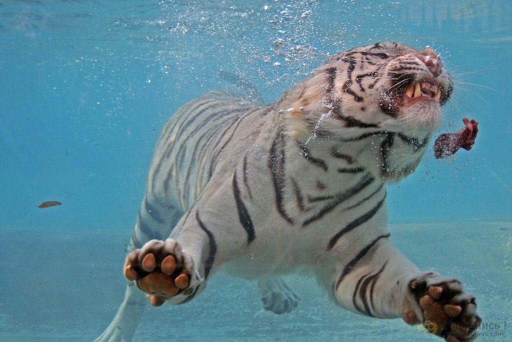 тигры ловят добычу