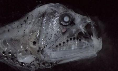 В Австралии нашли рыбу, похожую на Чужого