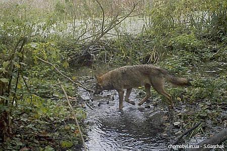 Скрытые видеокамеры сняли изобилие животной жизни в Чернобыльской зоне