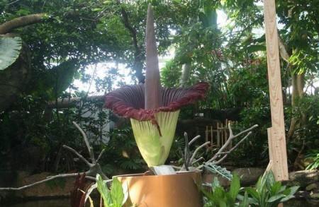 В США распустился гигантский цветок с трупным запахом